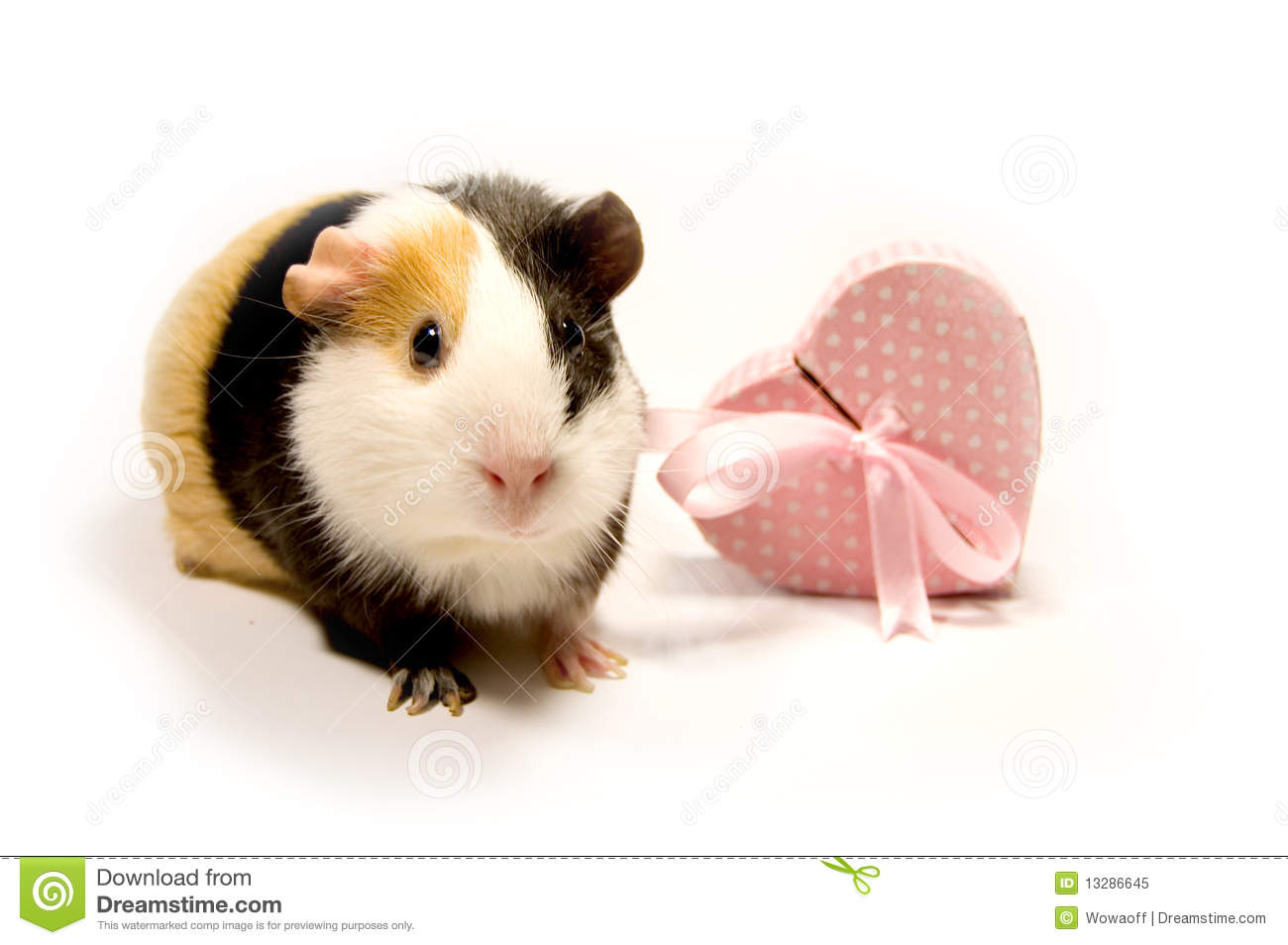 Guinea pig royalty free stock photo image 13286645 for Guinea pig pictures free