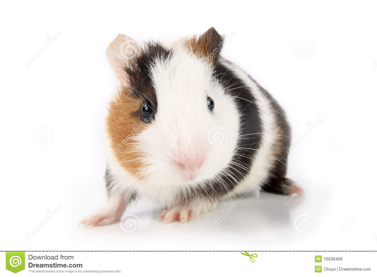 Guinea pig royalty free stock images image 16630469 for Guinea pig pictures free