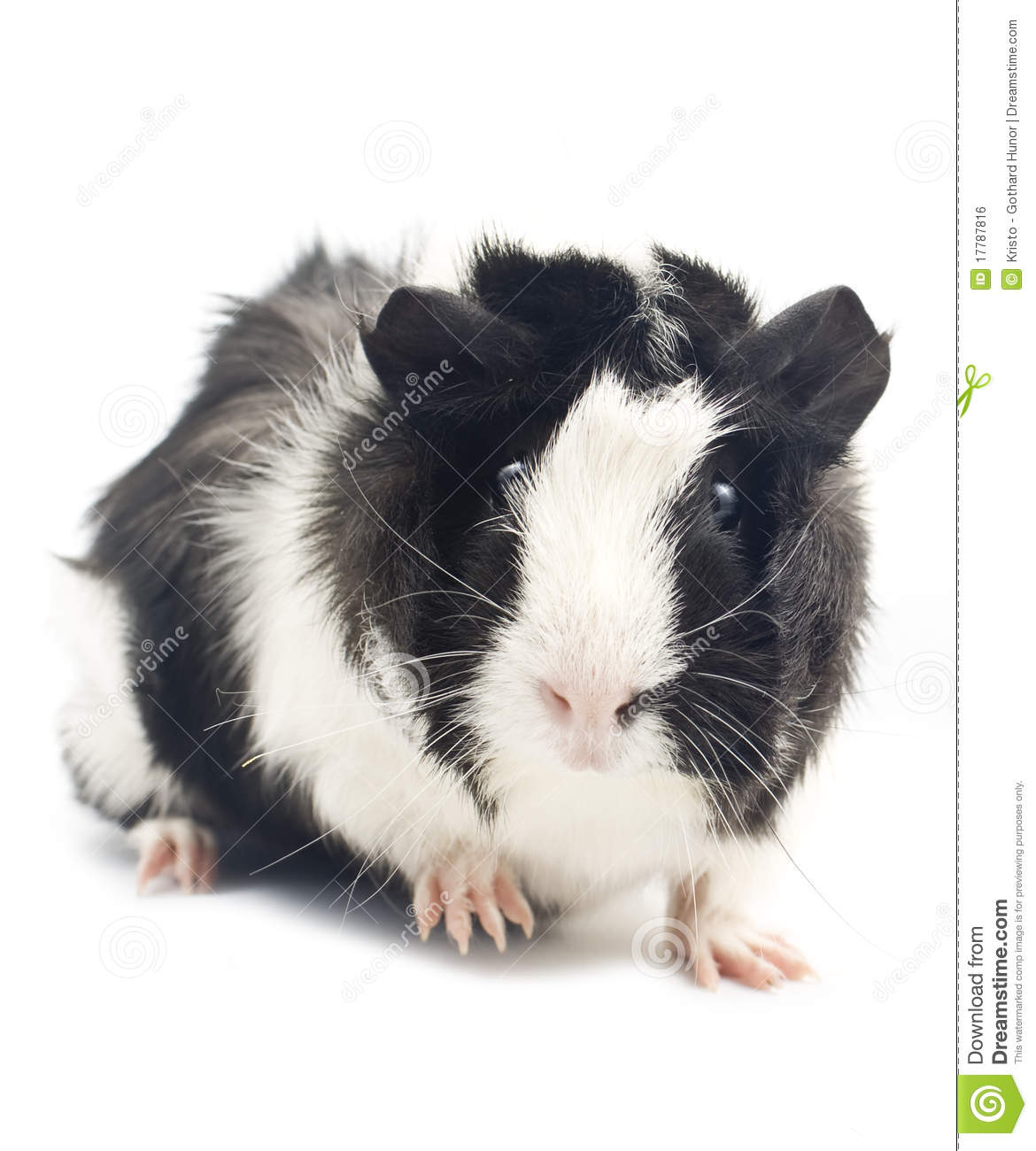 Guinea Pig Stock Photo. Image Of Hairy, Domestic, Food