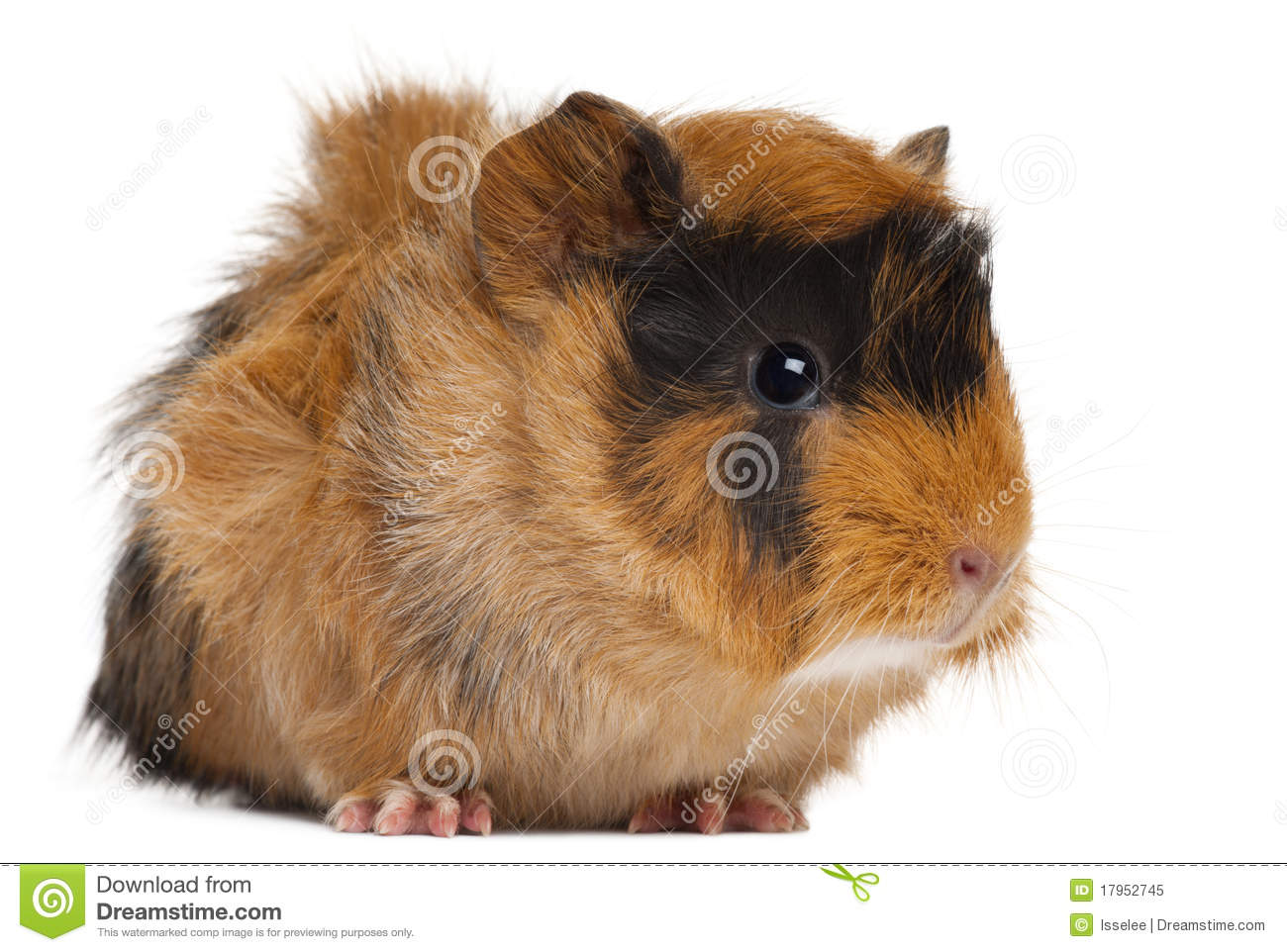 Guinea pig royalty free stock photo image 17952745 for Guinea pig pictures free