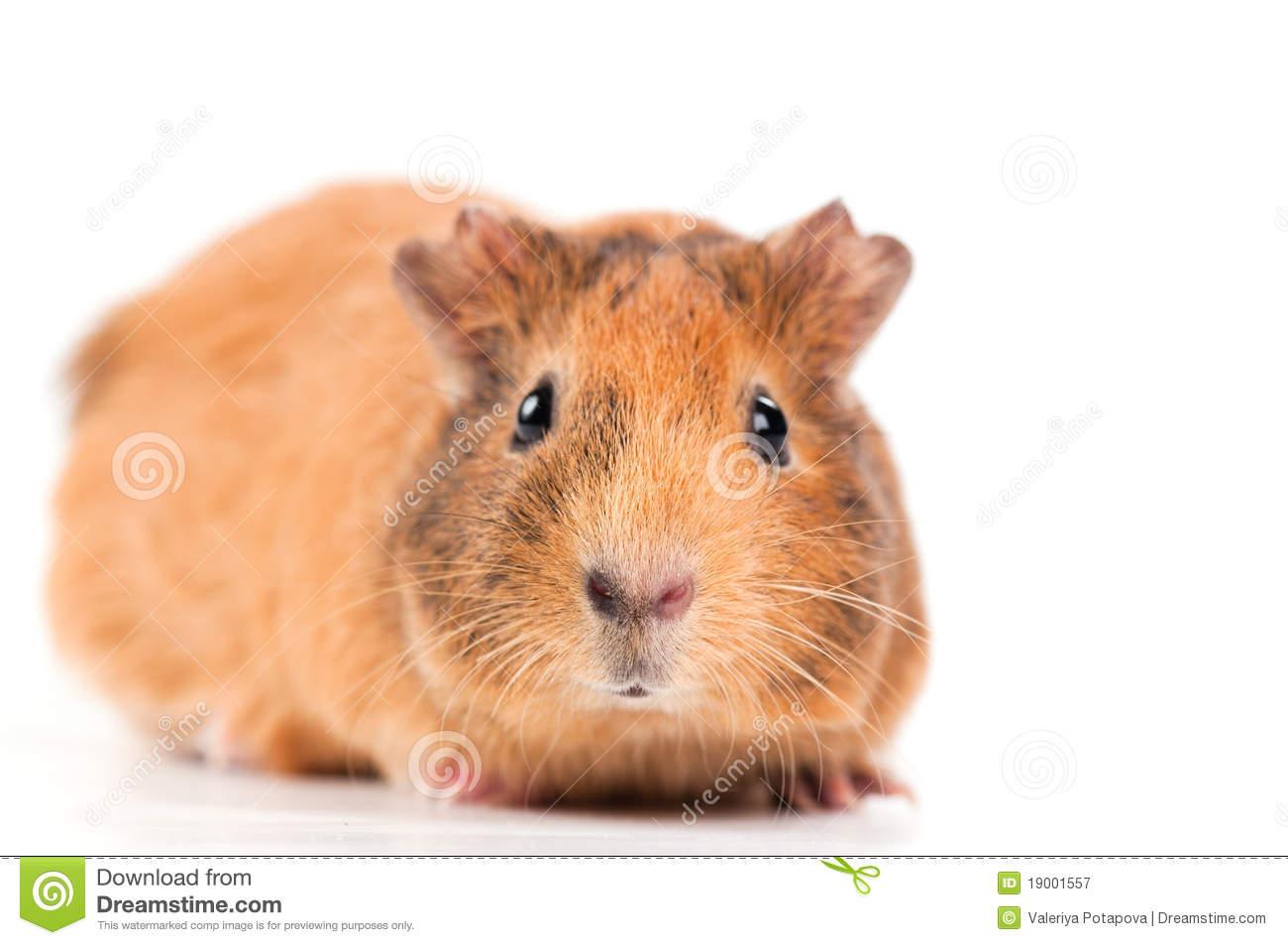 Guinea pig royalty free stock photography image 19001557 for Guinea pig pictures free