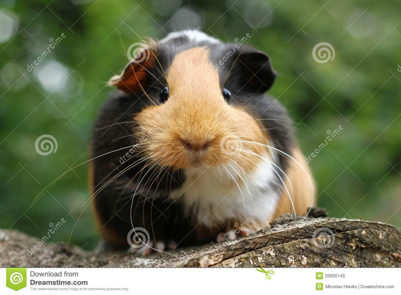Guinea pig royalty free stock photo image 20605145 for Guinea pig pictures free