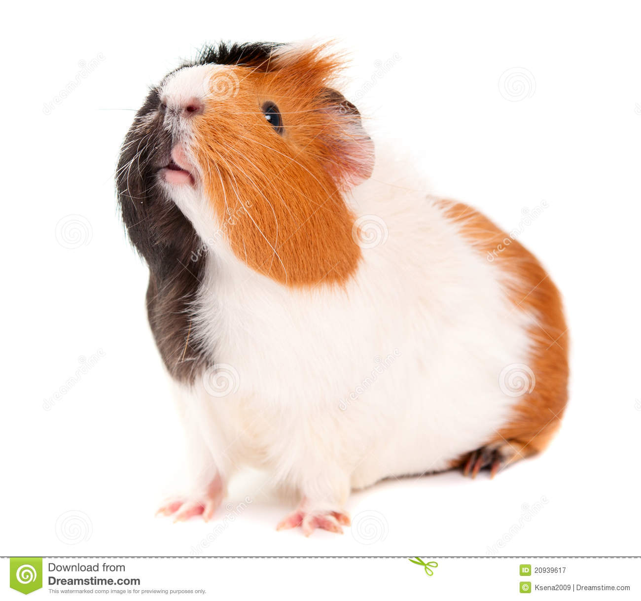 Guinea pig royalty free stock photography image 20939617 for Guinea pig pictures free