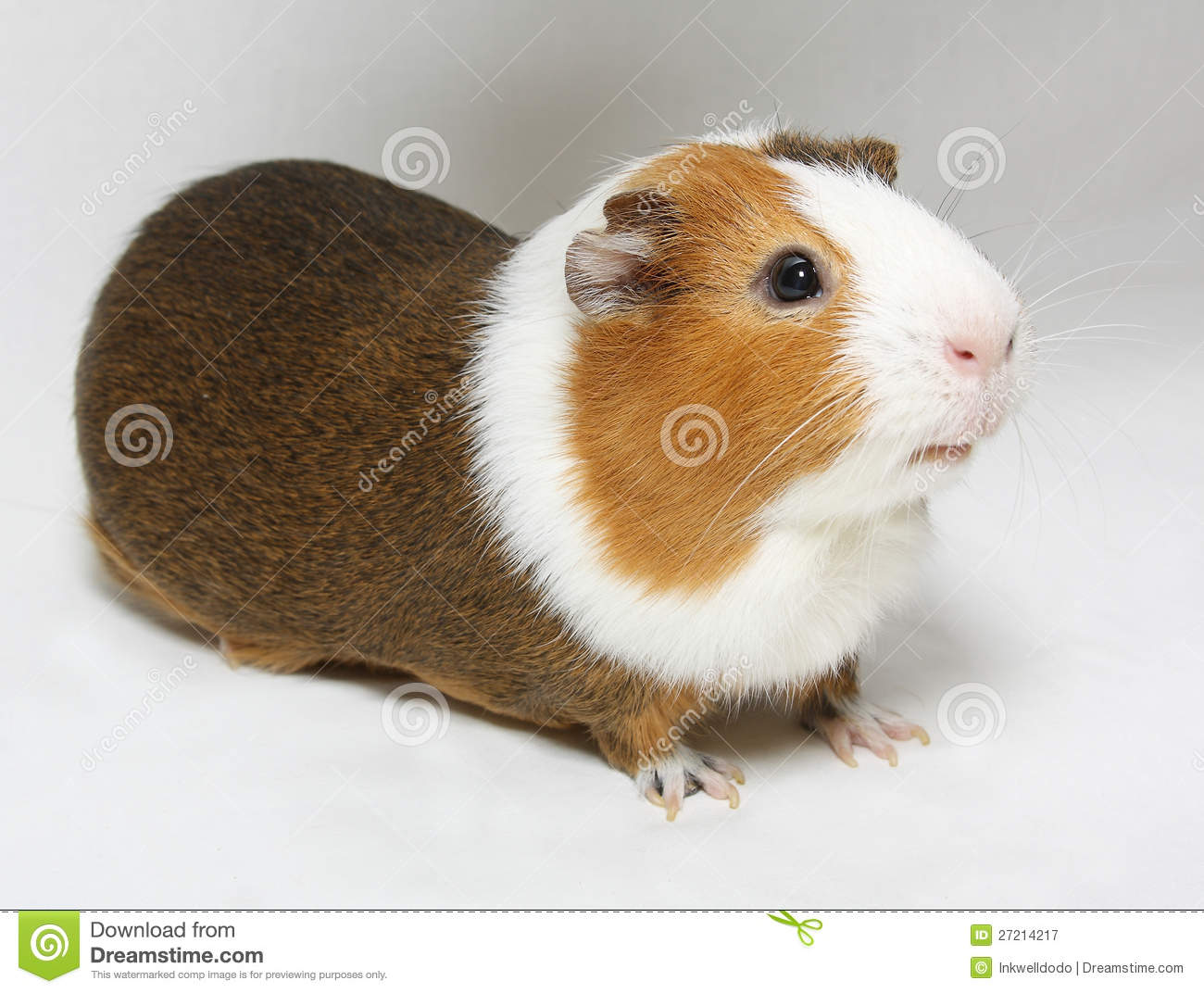 Guinea pig royalty free stock photography image 27214217 for Guinea pig pictures free