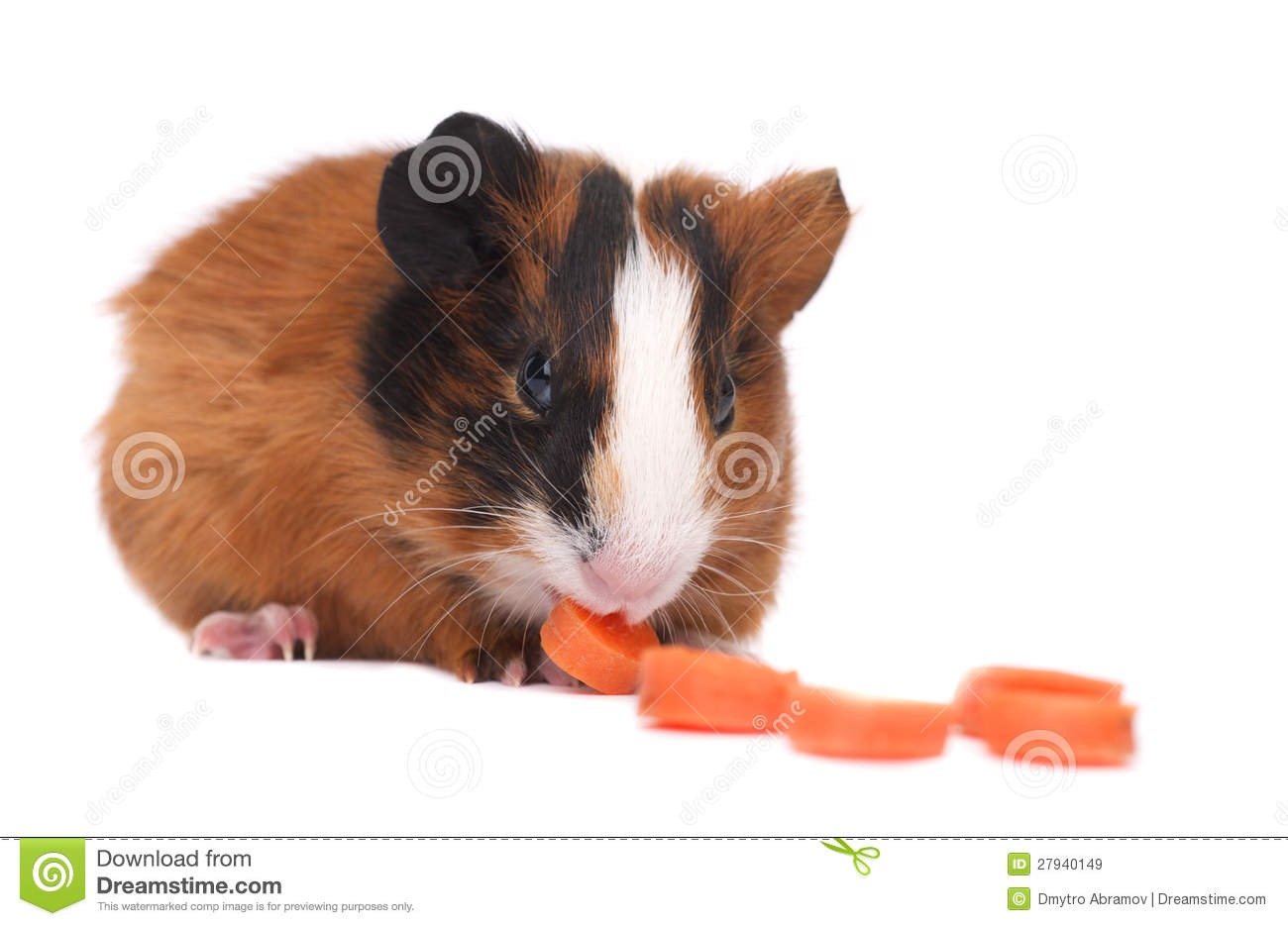 Guinea pig royalty free stock images image 27940149 for Guinea pig pictures free
