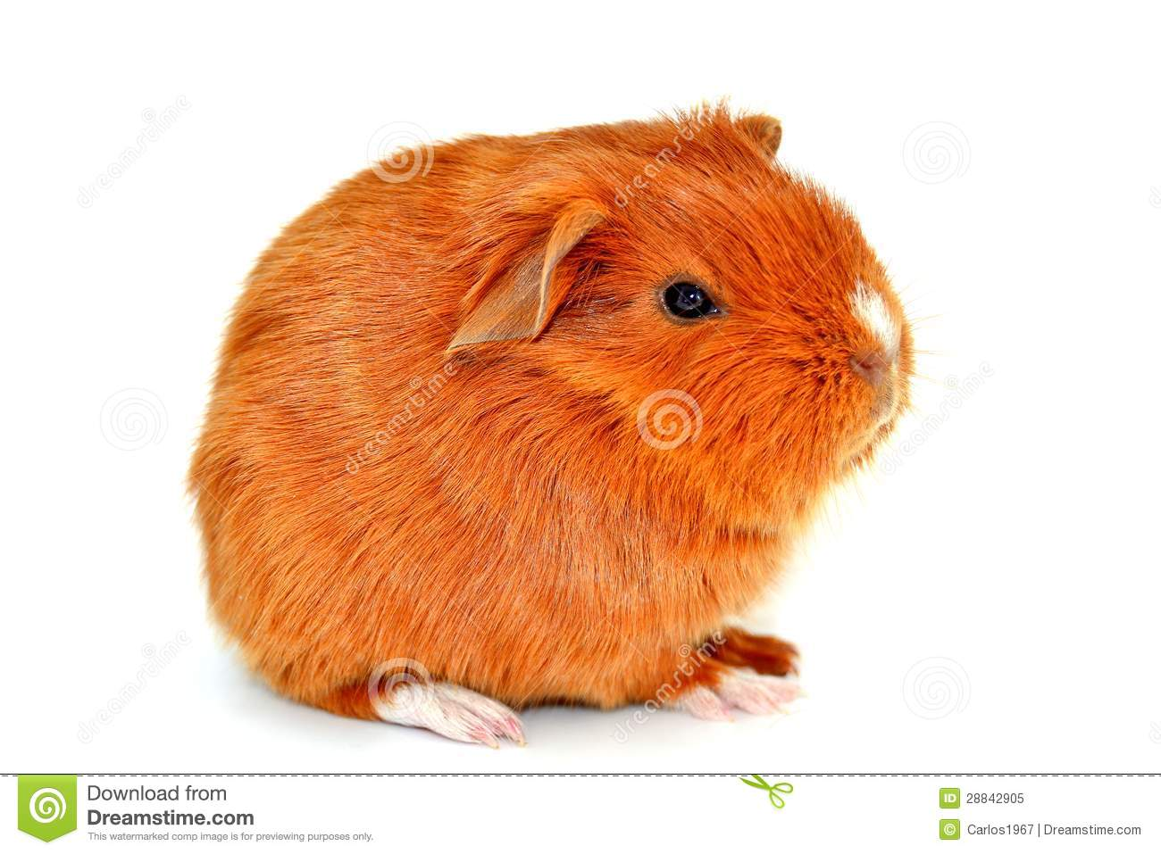 Guinea pig royalty free stock photo image 28842905 for Guinea pig pictures free