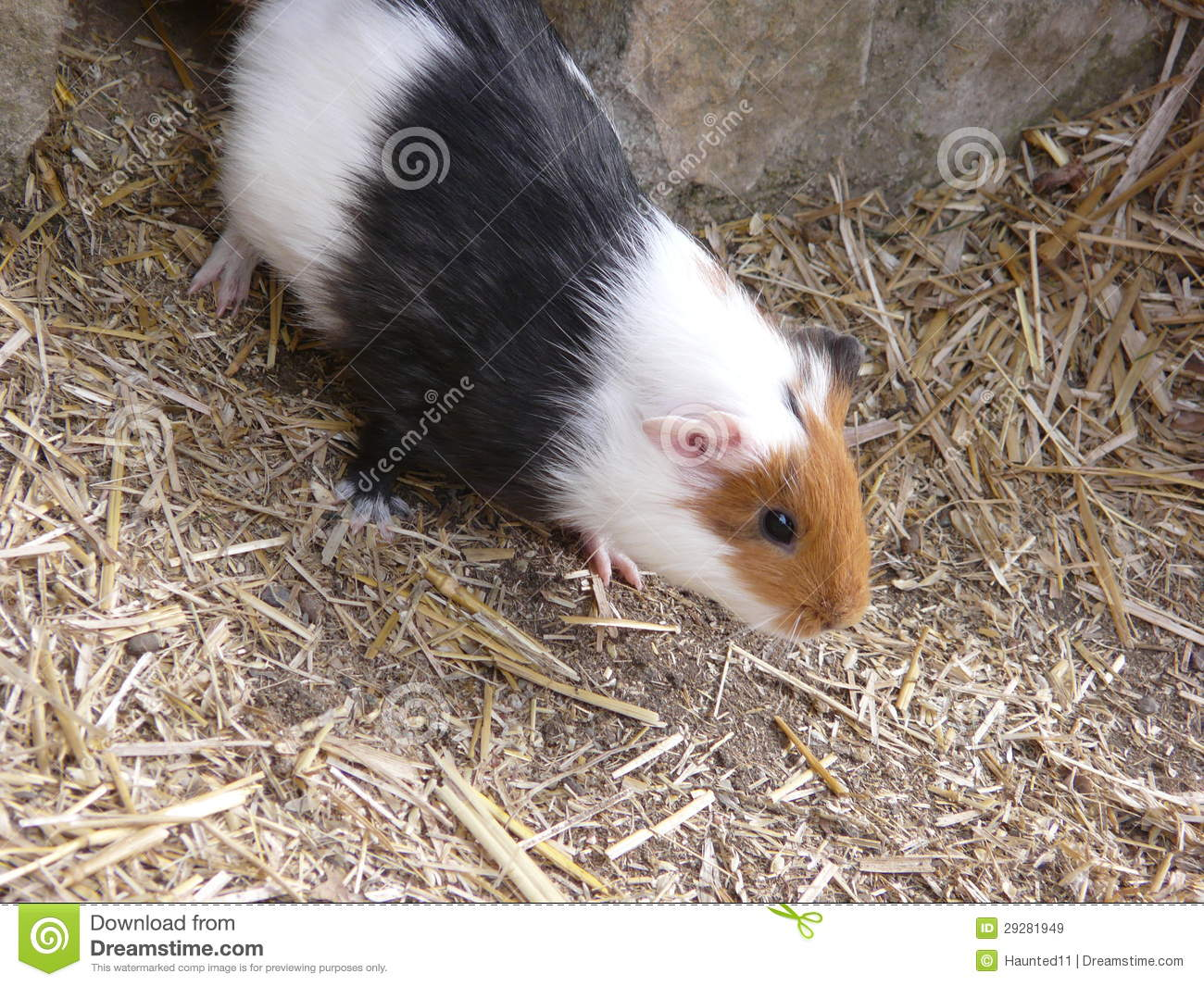 Guinea pig royalty free stock images image 29281949 for Guinea pig pictures free