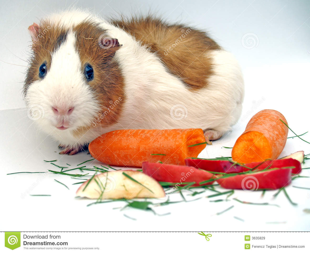 Guinea pig royalty free stock images image 3635829 for Guinea pig pictures free