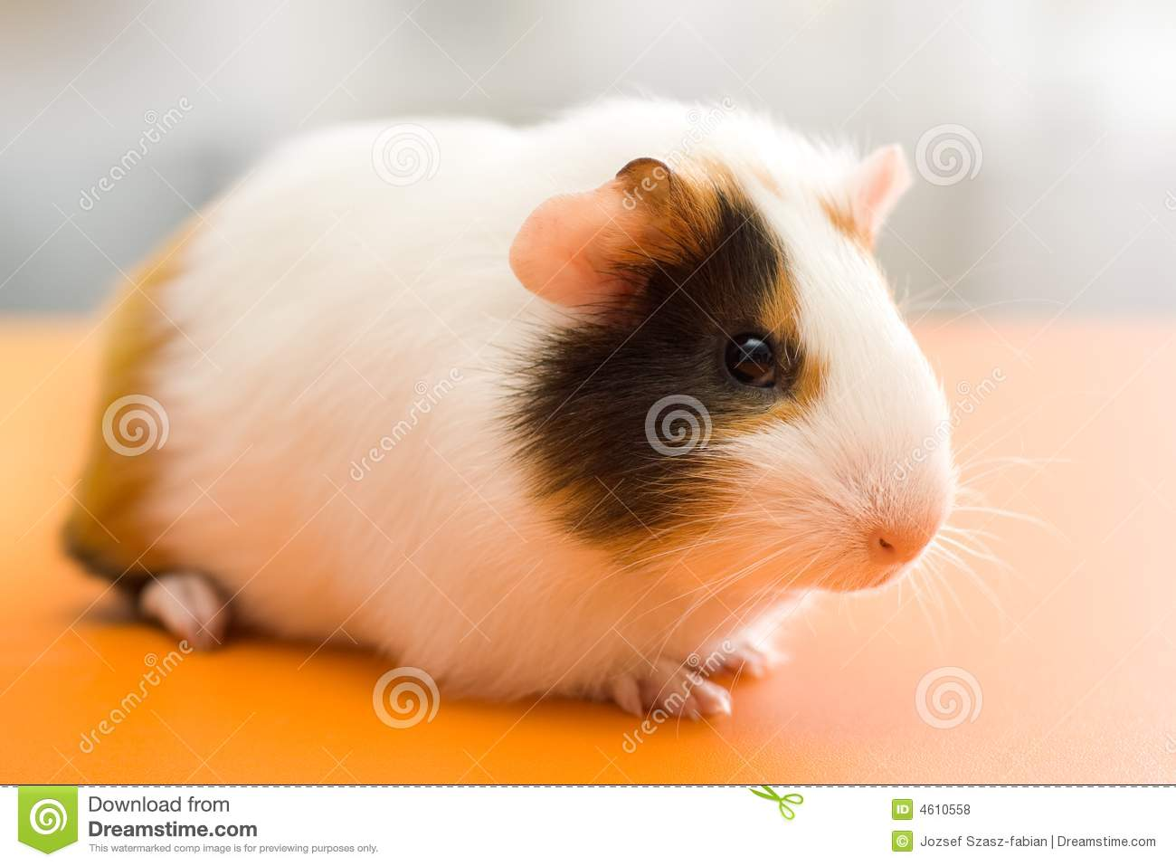Guinea pig royalty free stock photos image 4610558 for Guinea pig pictures free