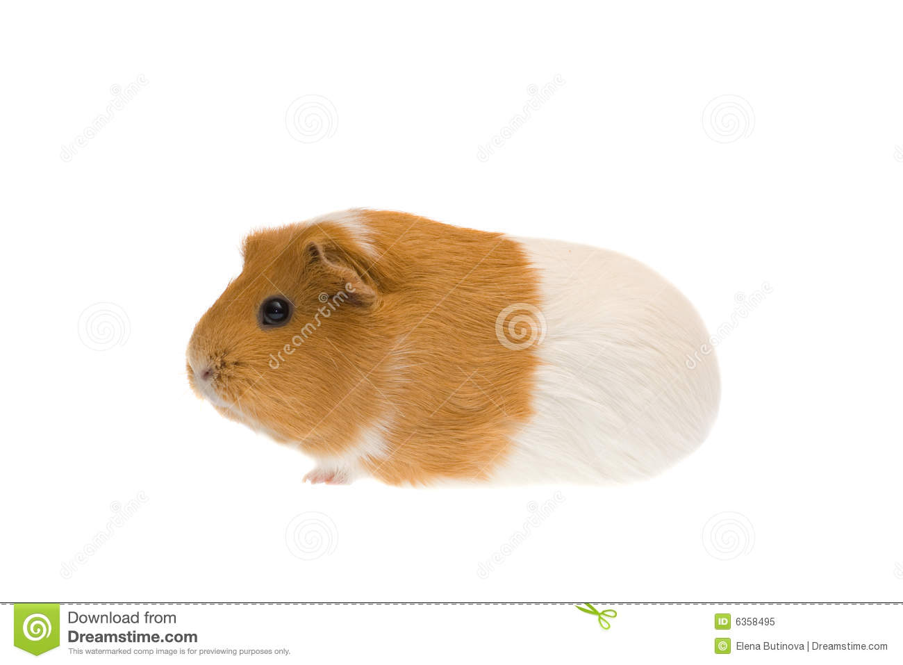 Guinea pig royalty free stock photo image 6358495 for Guinea pig pictures free