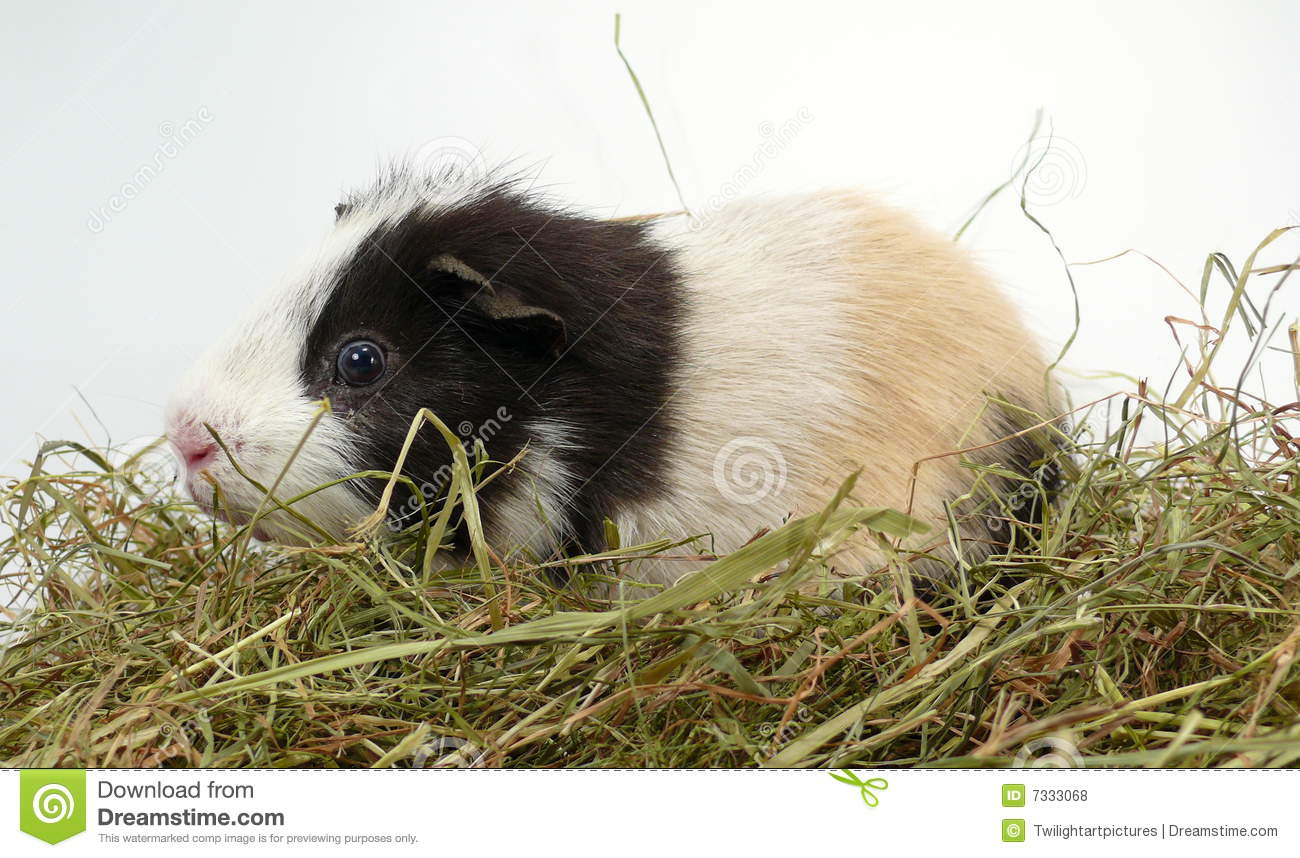 Guinea pig royalty free stock photos image 7333068 for Guinea pig pictures free