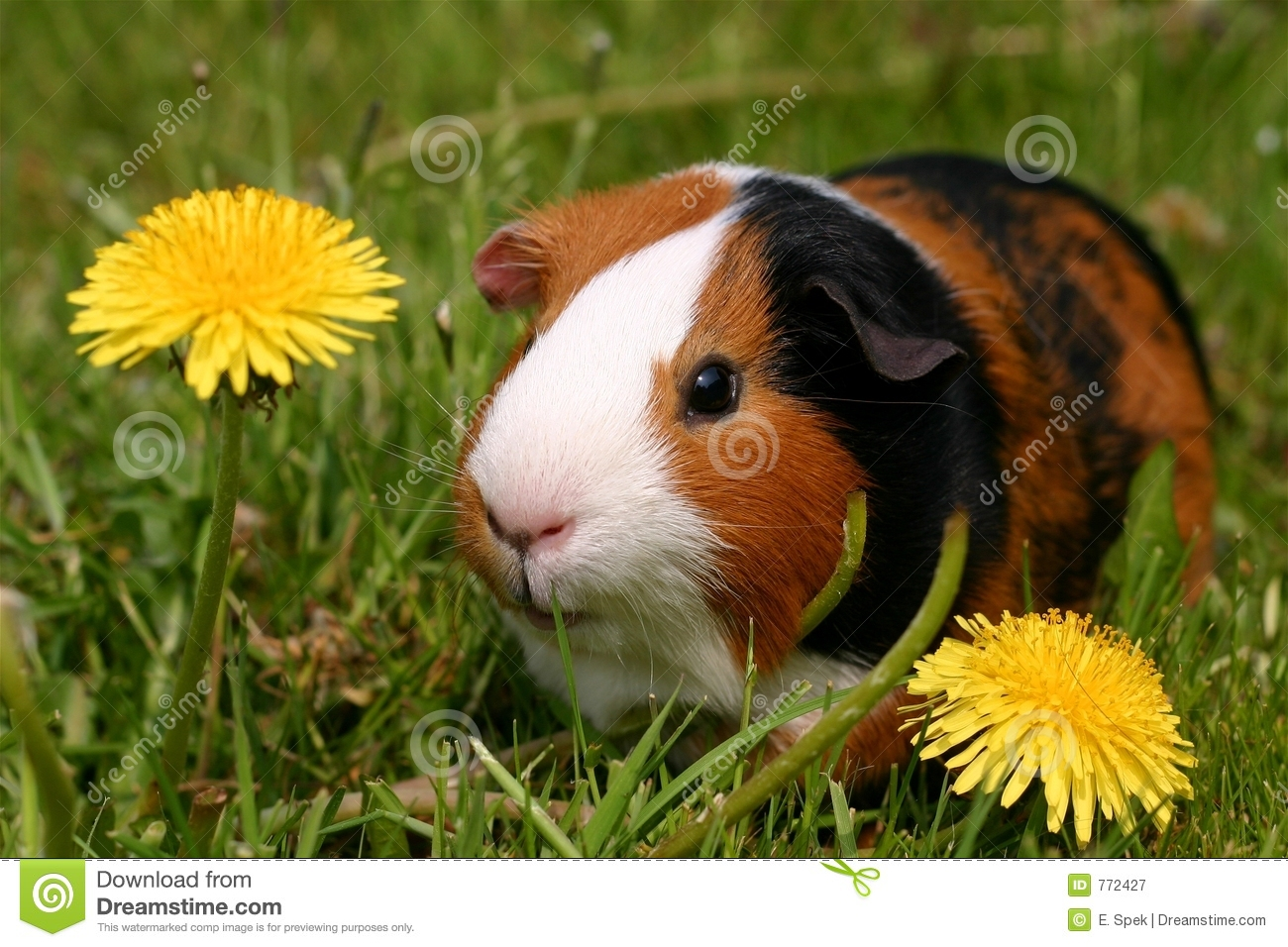 Guinea pig royalty free stock photography image 772427 for Free guinea pig stuff