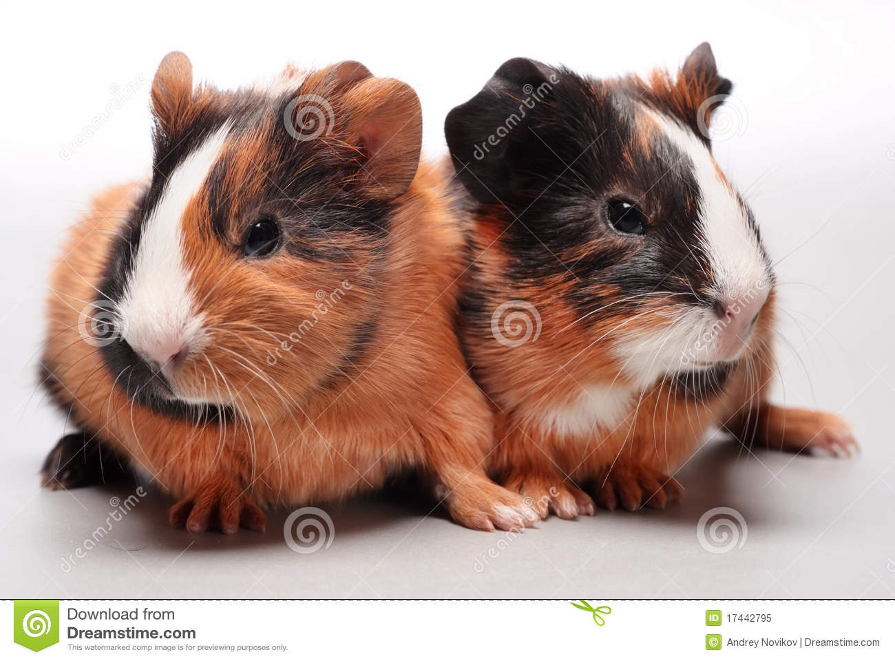 Guinea pig babies on gray