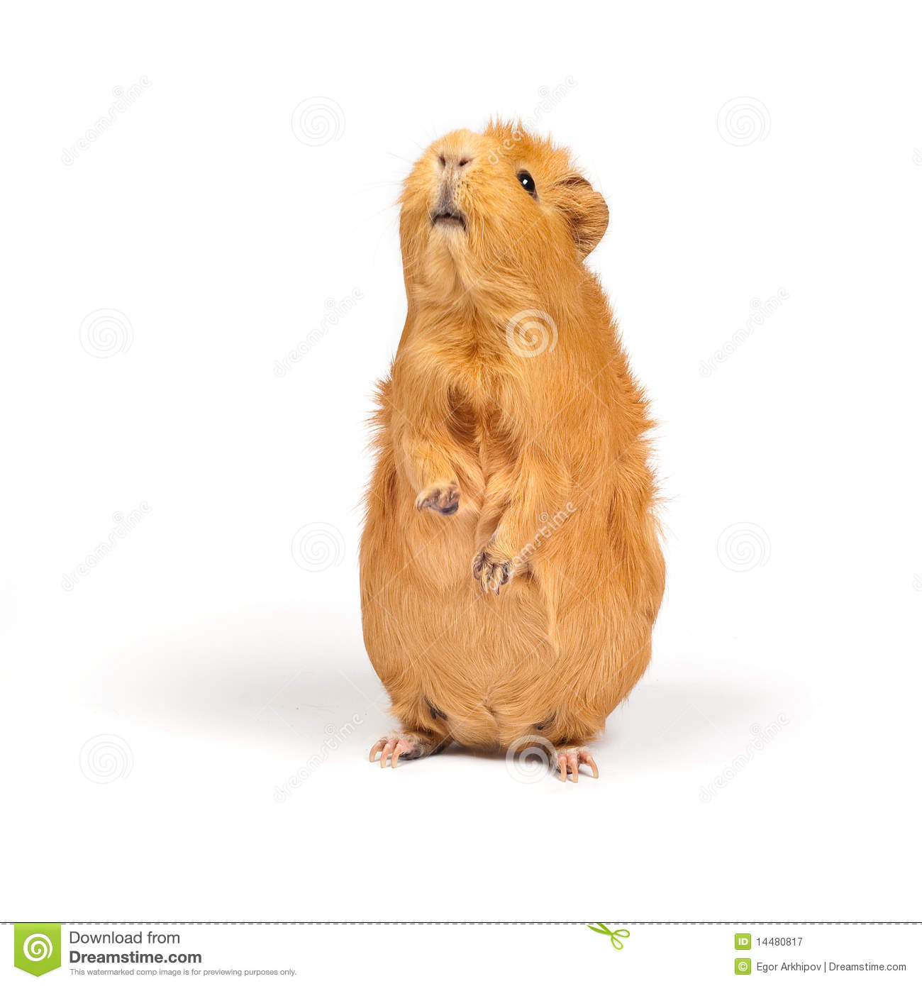 Guinea pig bags royalty free stock photography image for Guinea pig stand