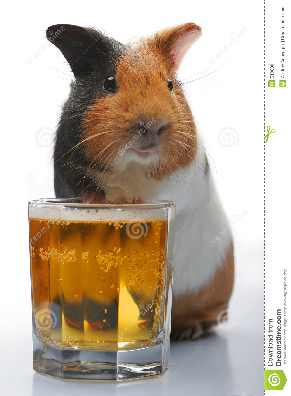 Guinea-pig and beer