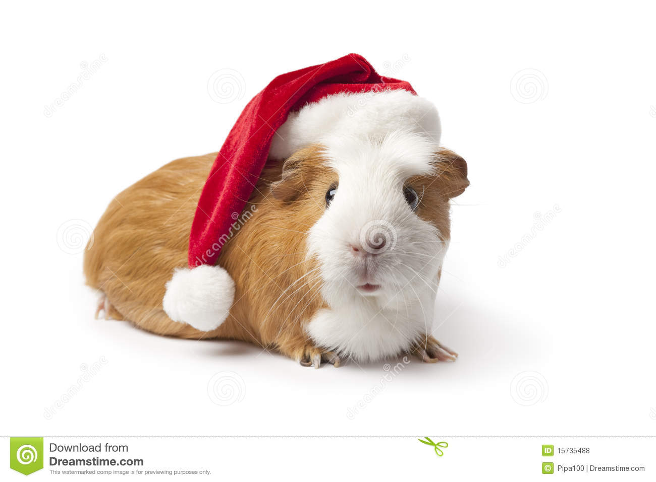 Guinea Pig With Christmas Hat Royalty Free Stock Photos - Image ...