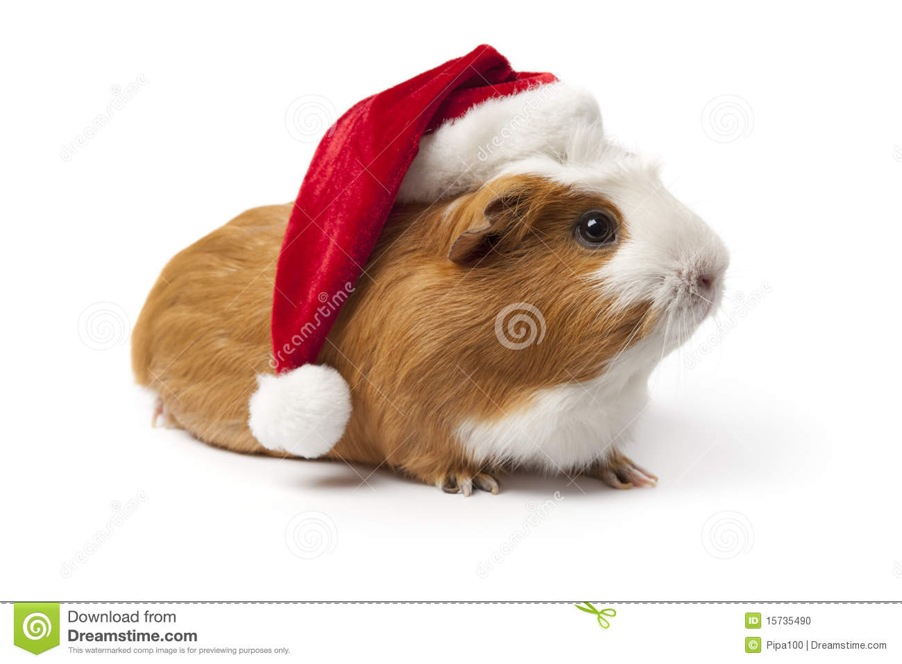 Guinea Pig With Christmas Hat Stock Photo - Image: 15735490