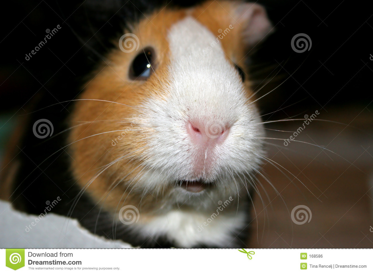 Guinea pig closeup royalty free stock image image 168586 for Free guinea pig stuff