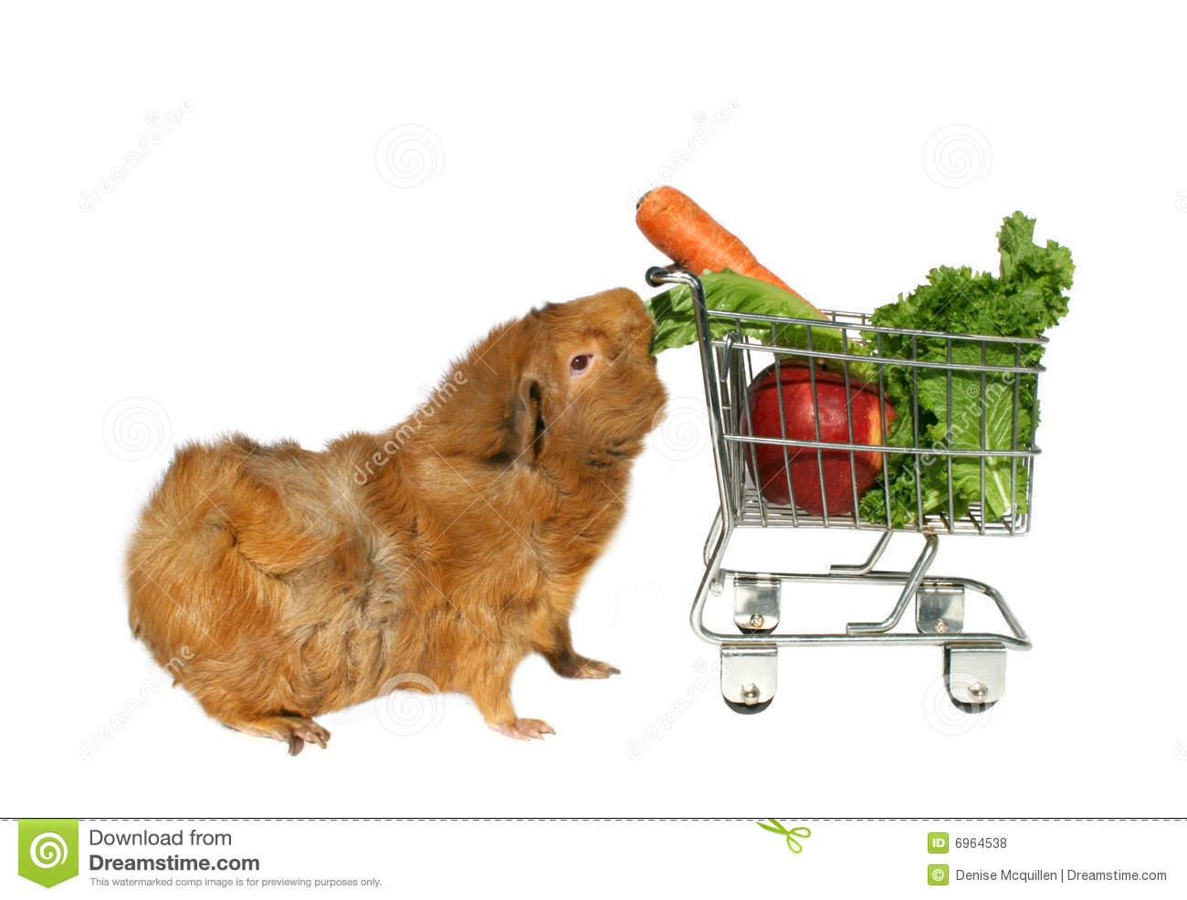 Guinea pig eating veggies royalty free stock photos for Guinea pig pictures free