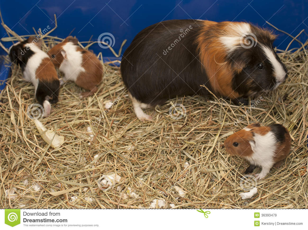 Guinea pig family royalty free stock images image 36393479 for Guinea pig pictures free