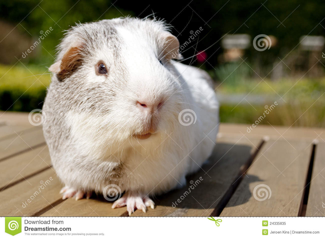 Guinea pig in garden royalty free stock photo image for Guinea pig pictures free