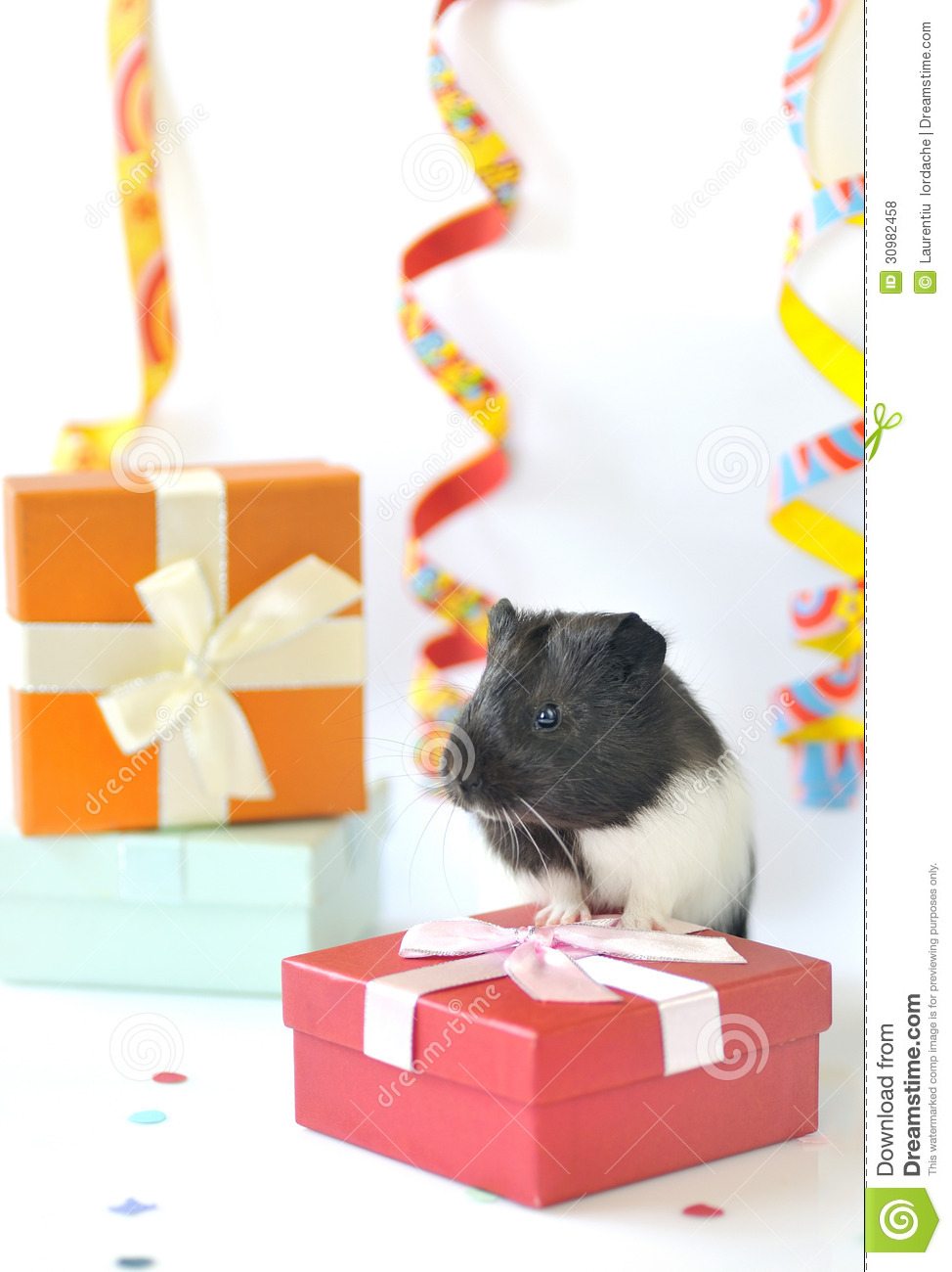 Guinea pig and gifts royalty free stock photos image for Free guinea pig stuff