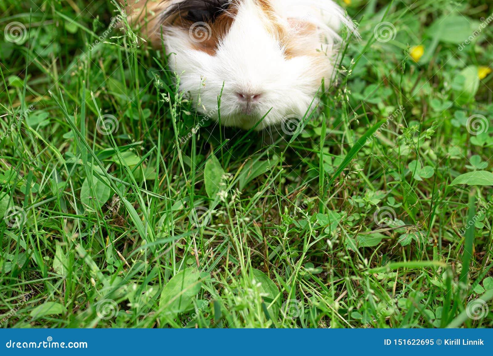 Guinea pig on the grass