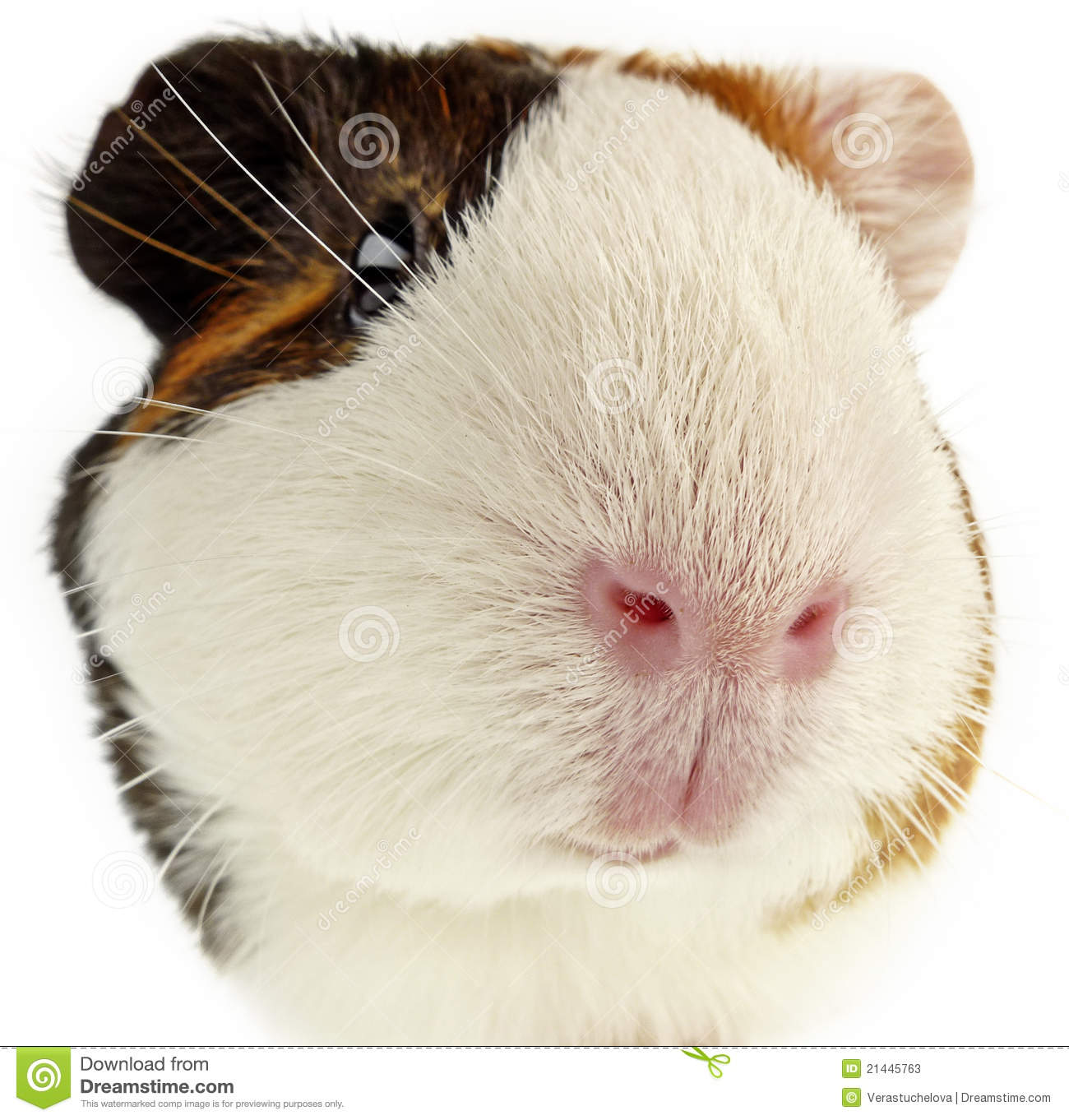 Guinea Pig Head Stock Photos