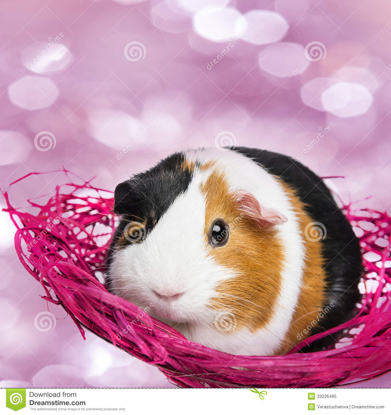 Guinea pig royalty free stock photo image 33226495 for Guinea pig pictures free