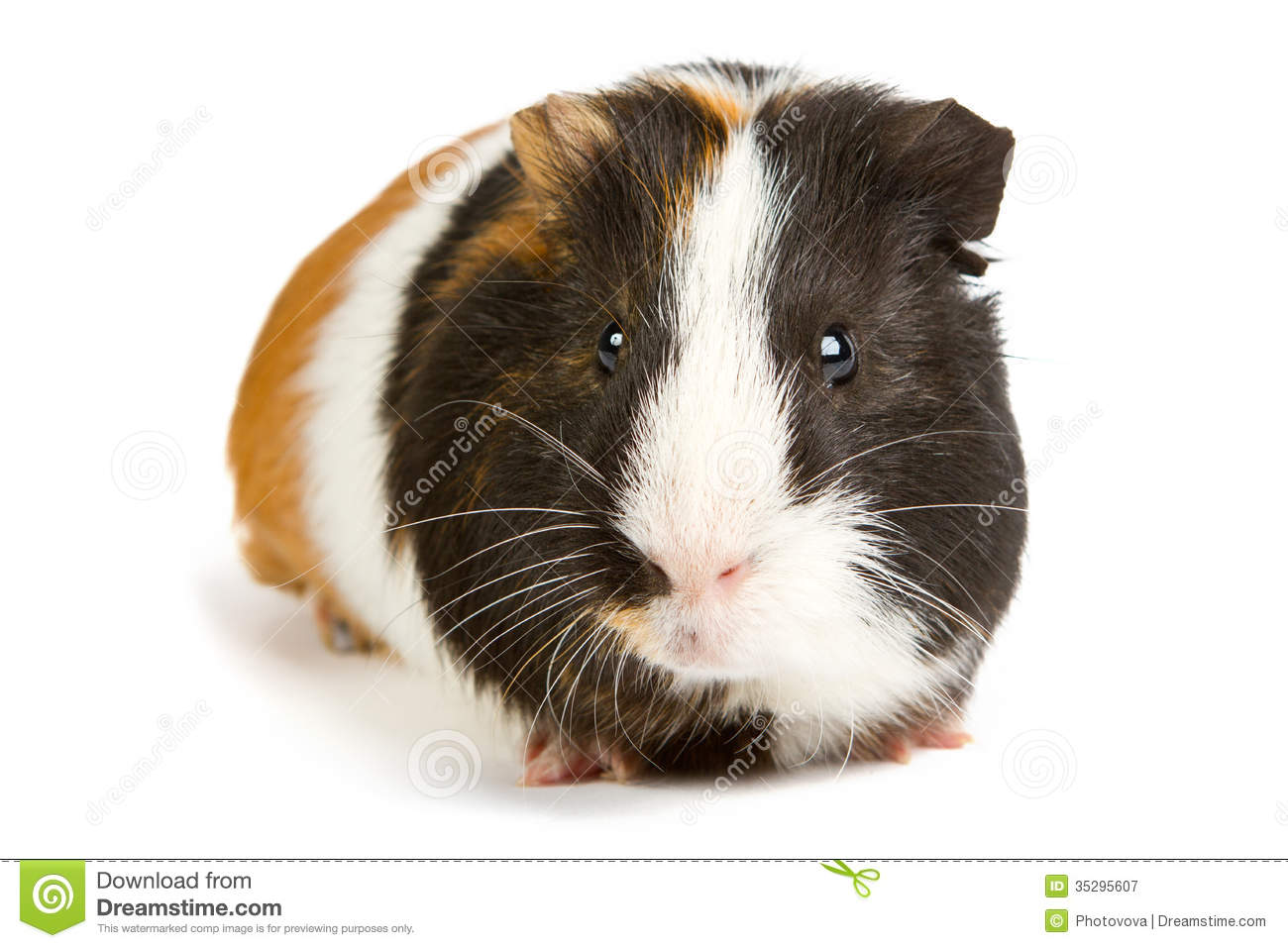 Guinea pig little pet rodent royalty free stock for Guinea pig pictures free