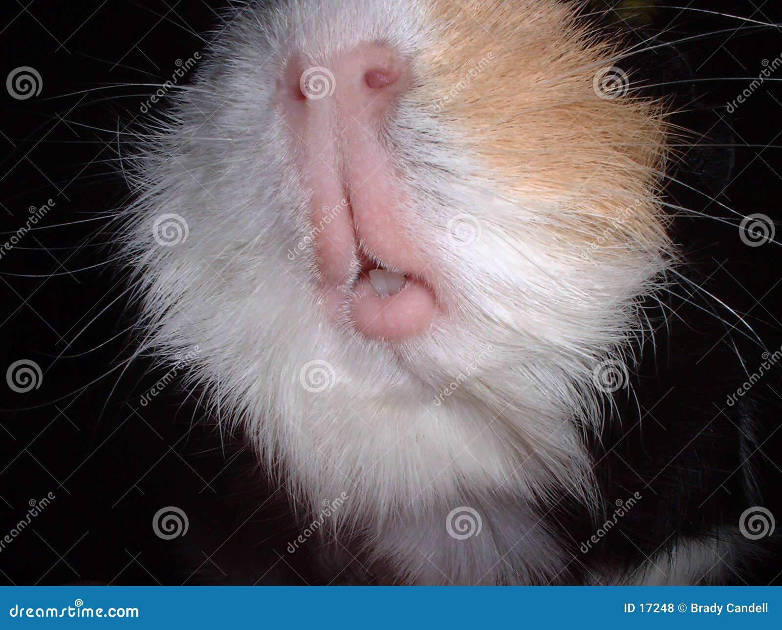 Guinea pig mouth