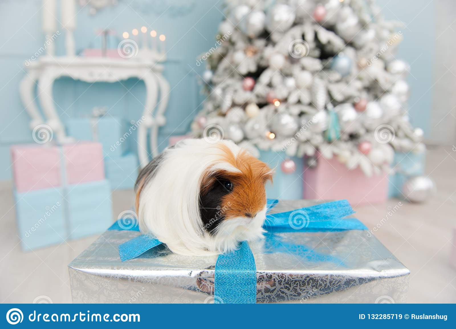 Guinea Pig Pet Sitting On Christmas Gift Box In Bright Room With Happy New  Year Decor