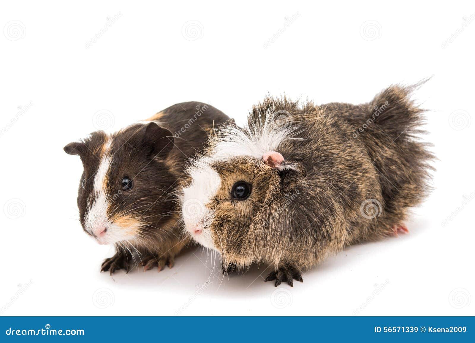 Download 6587 guinea pig shoulder στοκ εικόνα. εικόνα από κανένας - 56571339