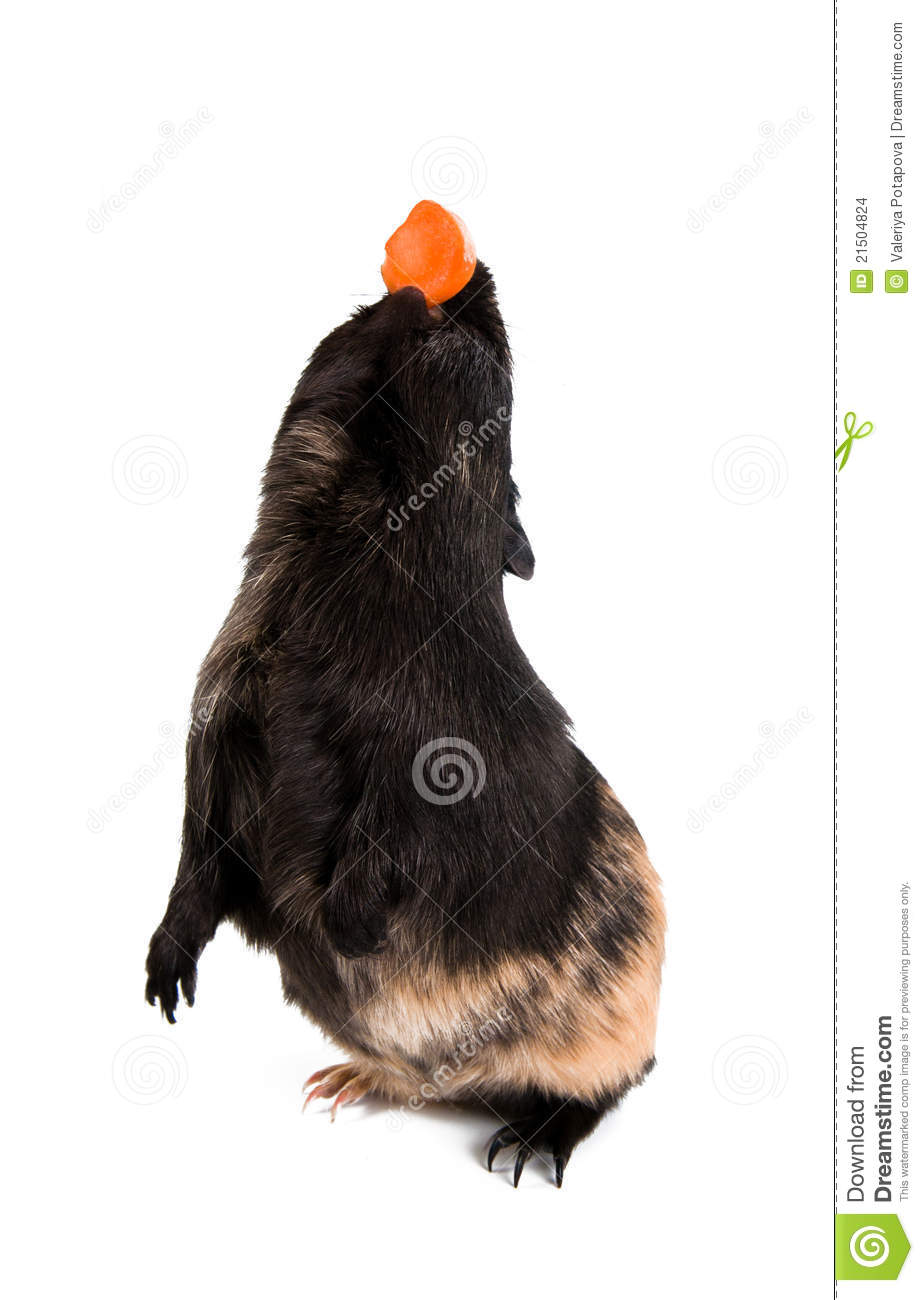 Guinea pig stands on its hind legs ramps stock images for Guinea pig stand
