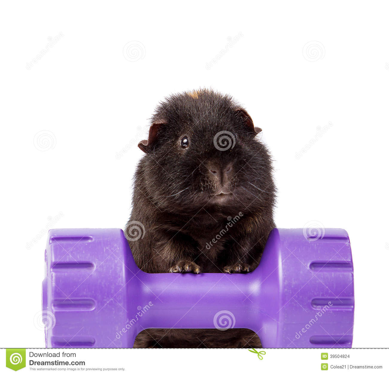GUINEA PIG ON A WEIGHT DUMBBELL ISOLATED ON WHITE
