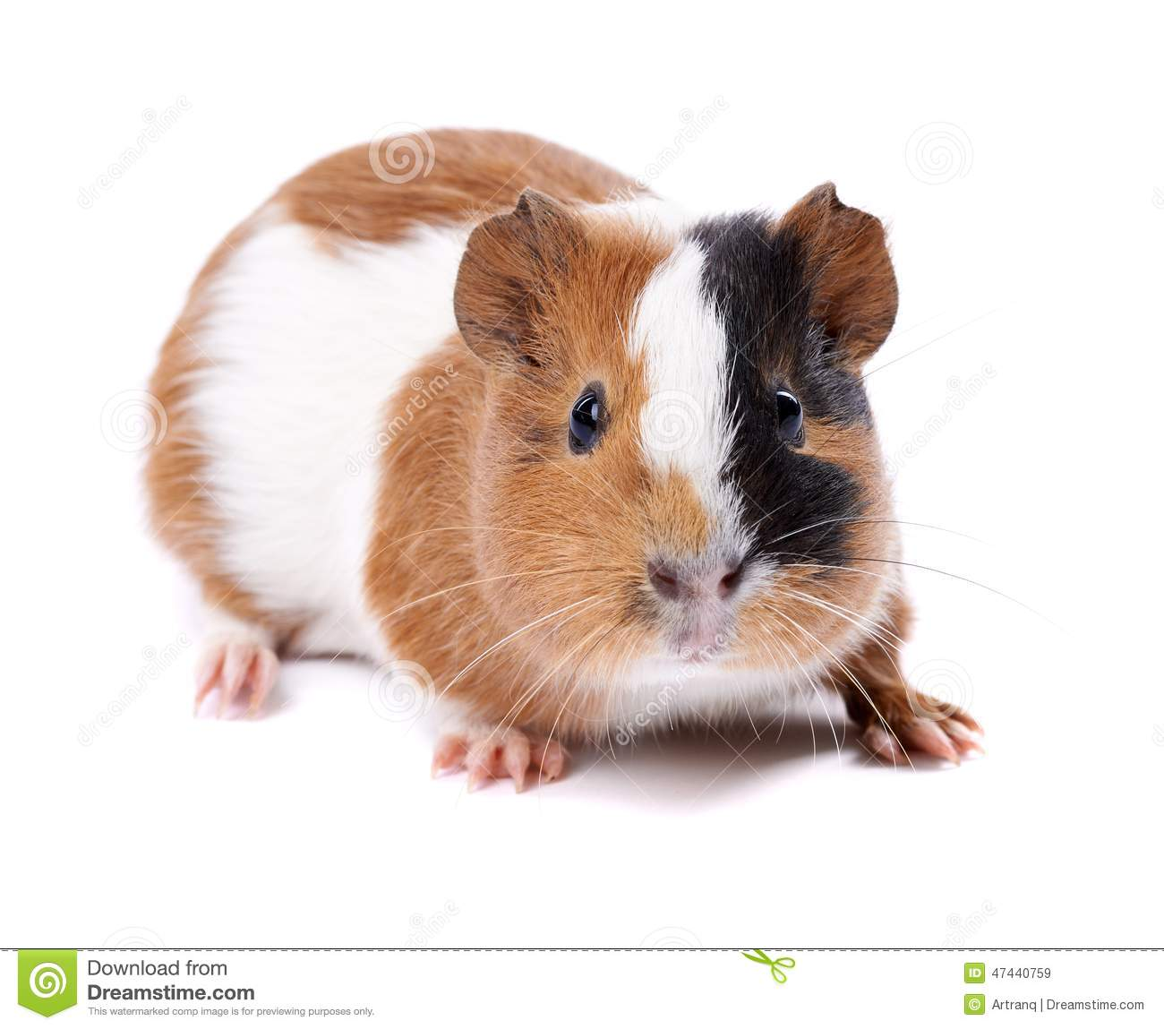 Guinea pig on a white background stock image image 47440759 for Guinea pig pictures free