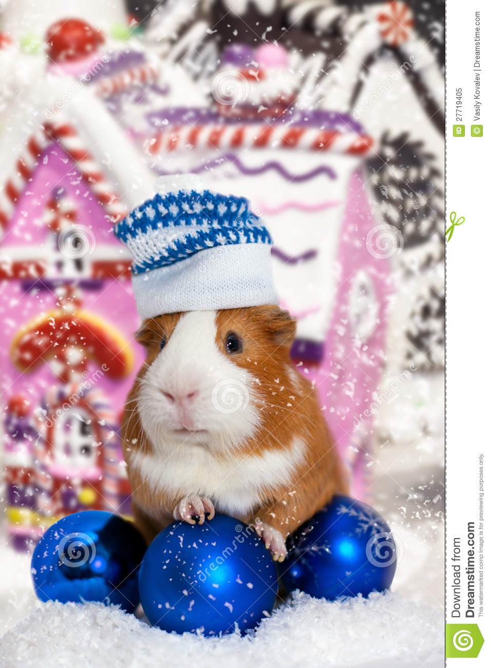 Guinea Pig In Winter Hat Over Christmas Background Royalty Free ...