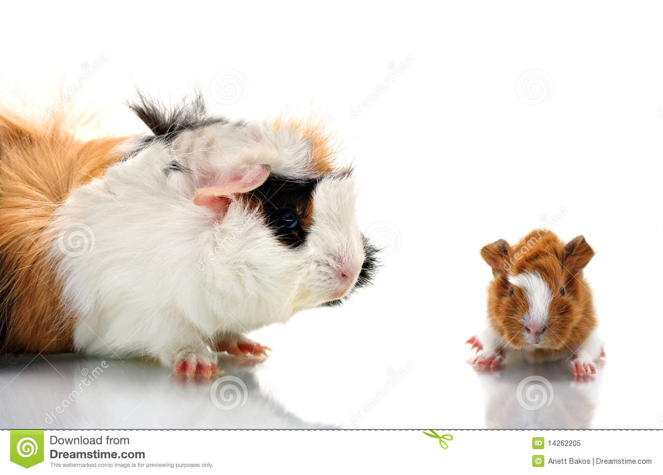 Guinea pigs royalty free stock photo image 14262205 for Guinea pig pictures free