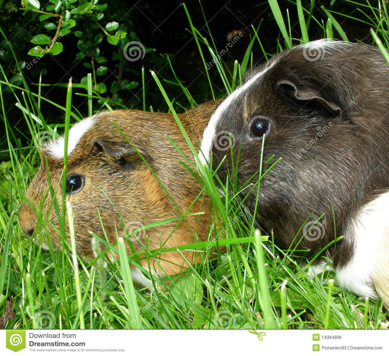 Guinea pigs royalty free stock photo for Guinea pig pictures free