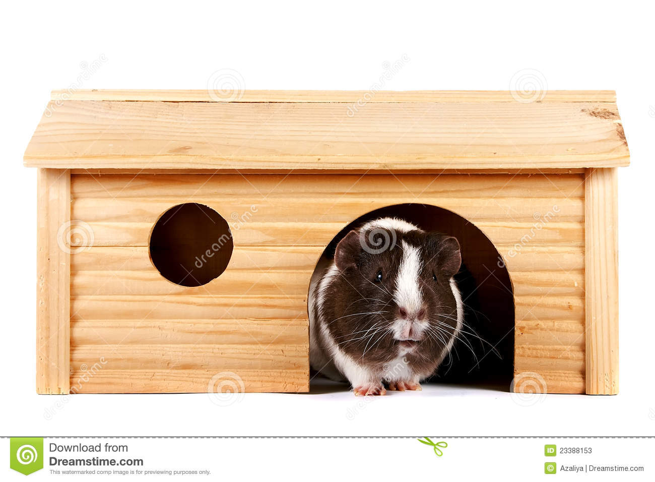 guinea pigs in a wooden small house stock photos image
