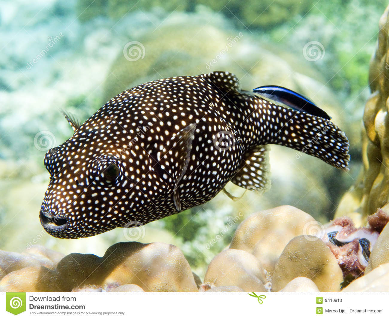 Guineafowl puffer fish stock photos image 9410813 for A puffer fish