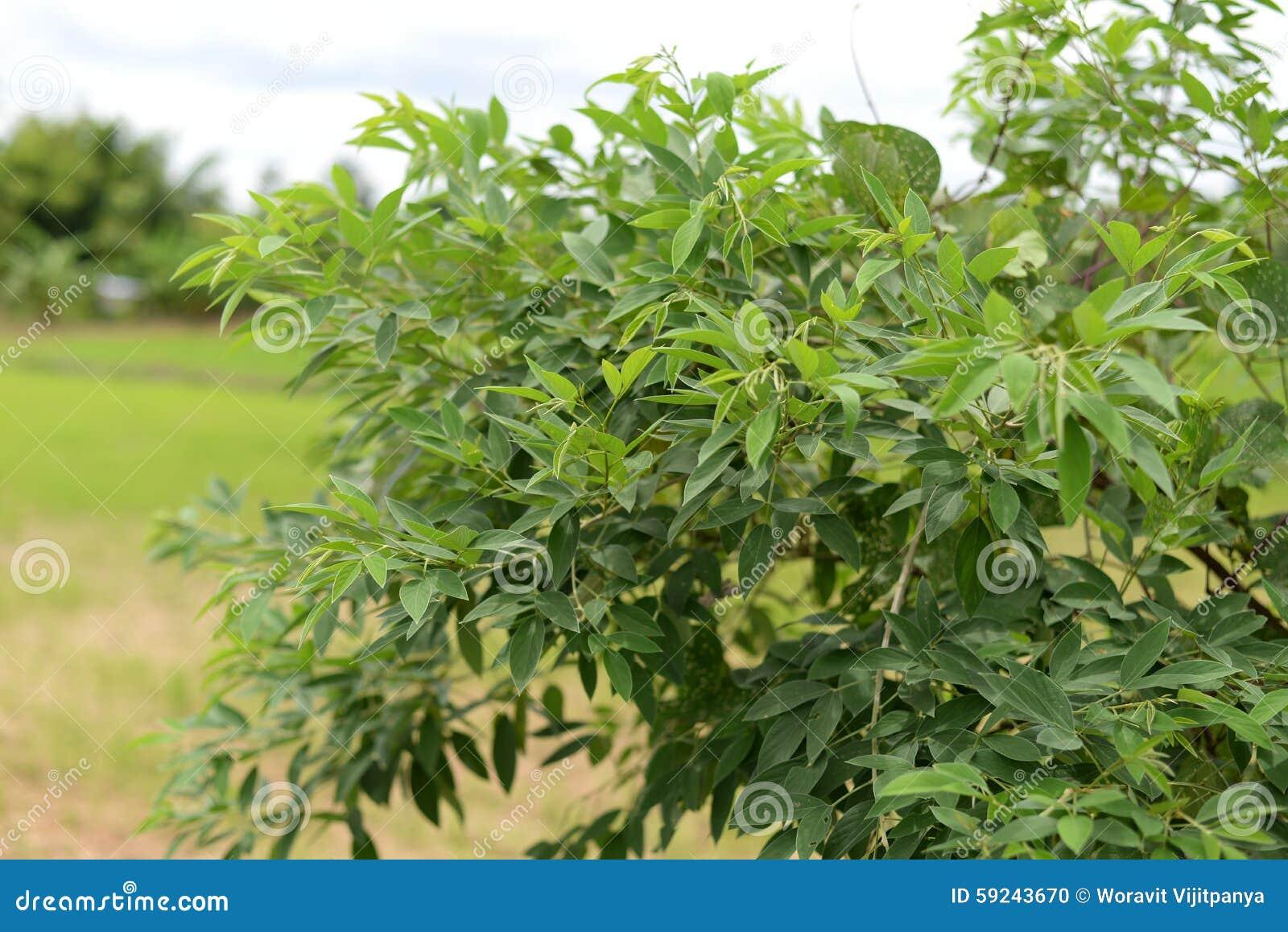 Download Guisante De Angola Del árbol, Guisante De Congo Foto de archivo - Imagen de verde, medicinas: 59243670