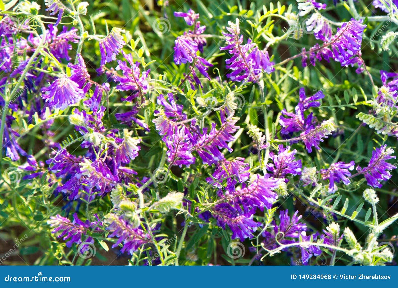 Guisantes del ratón de la hierba con las flores púrpuras en los rayos del sol poniente