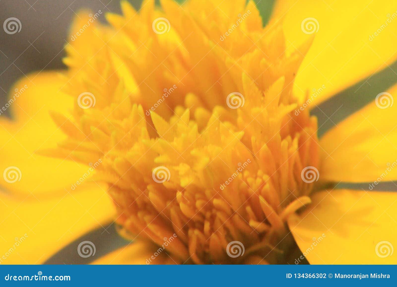 Gul blomma för makroskott för bakgrund