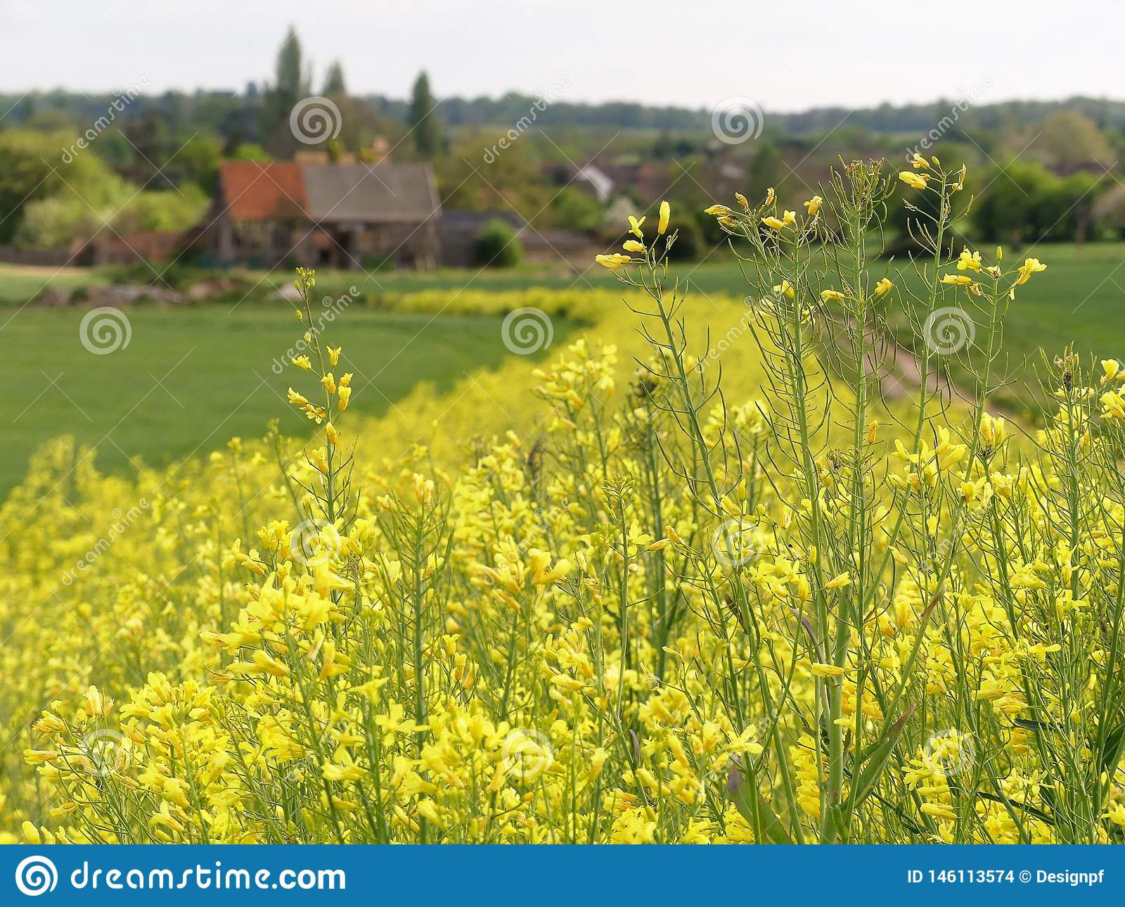 Gul blomma grönkål, en lek och skörd för jordbruksmarkfågelräkning, med den gjorda suddig 16th århundradeladugården i avstånd