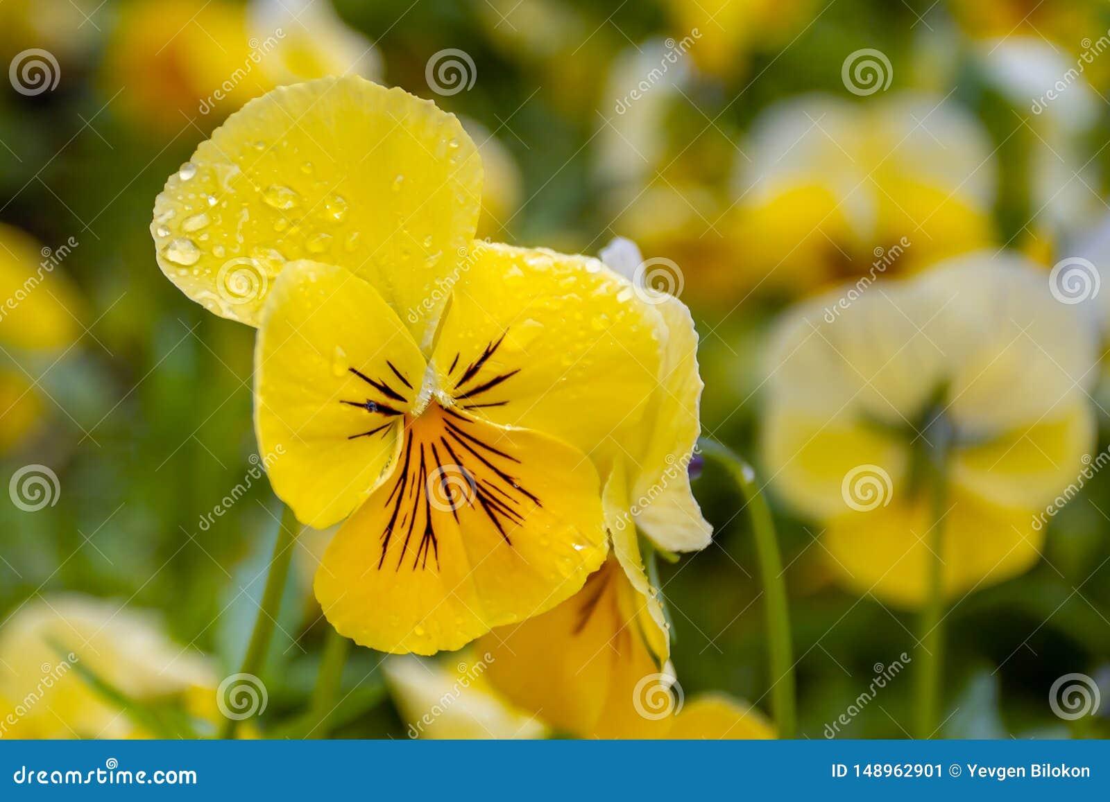 Gul blomma i dropparna av morgondagg