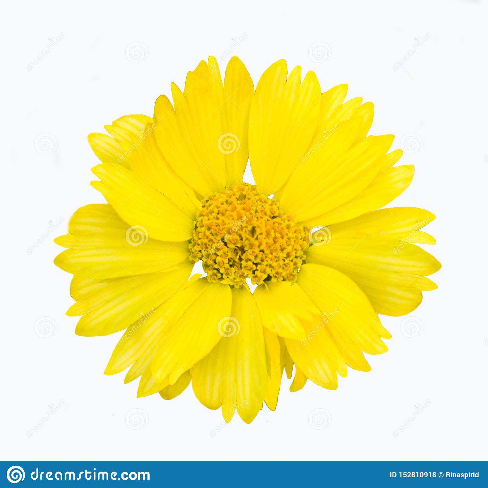 Gul blommaisolat