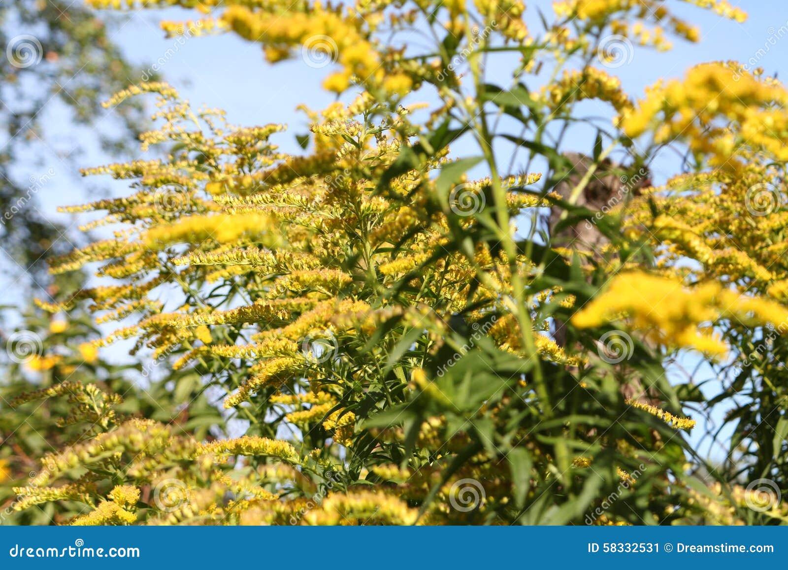 gula buskar i trädgården