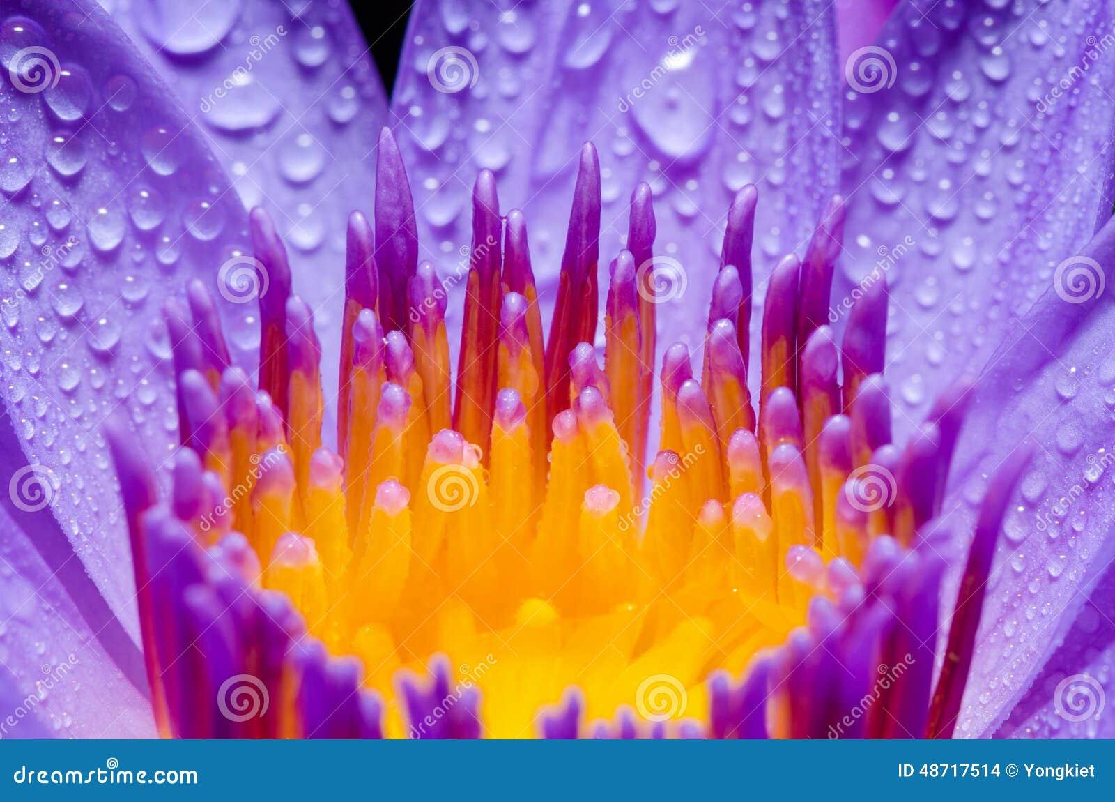 Gul carpel för makro av den purpurfärgade Lotus blomman