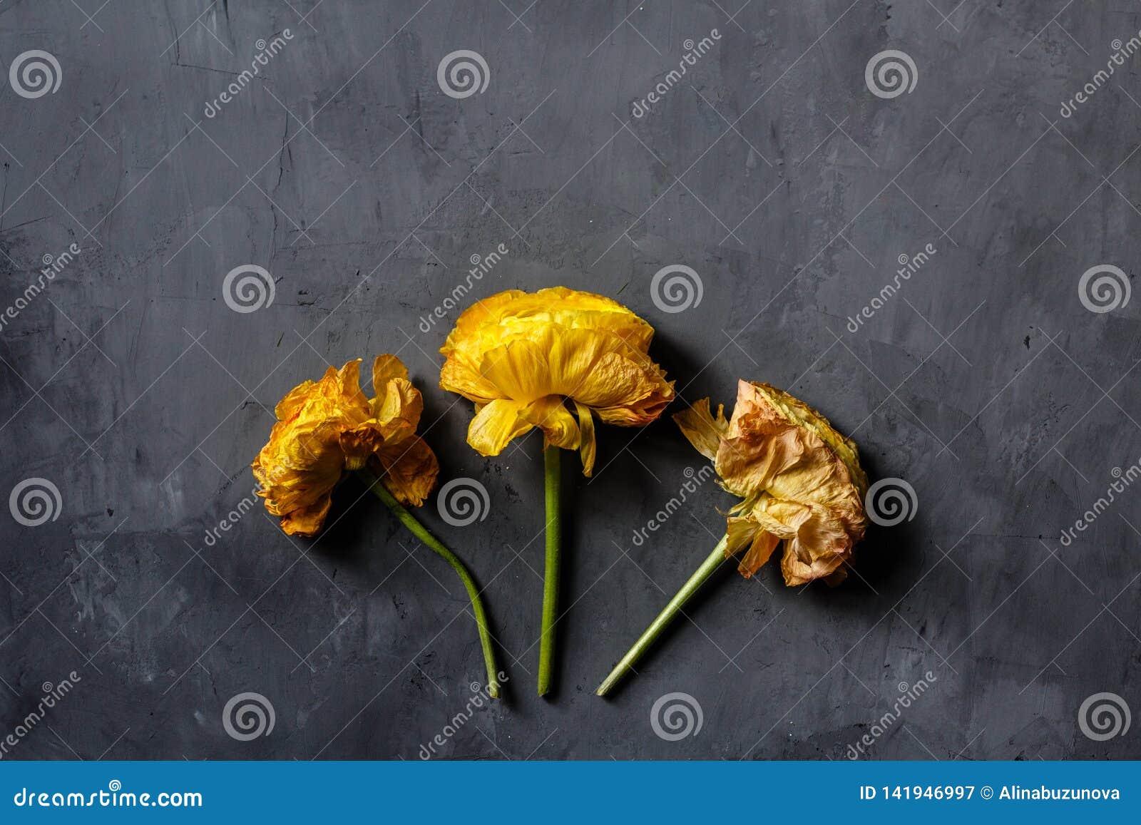 Gul färg för tre blommor som ligger på grå konkret bakgrund Lekmanna- lägenhet Top beskådar Kopiera utrymme för text